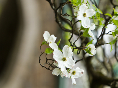 Christ Church Tree Flower, photo by Joanne Bouknight
